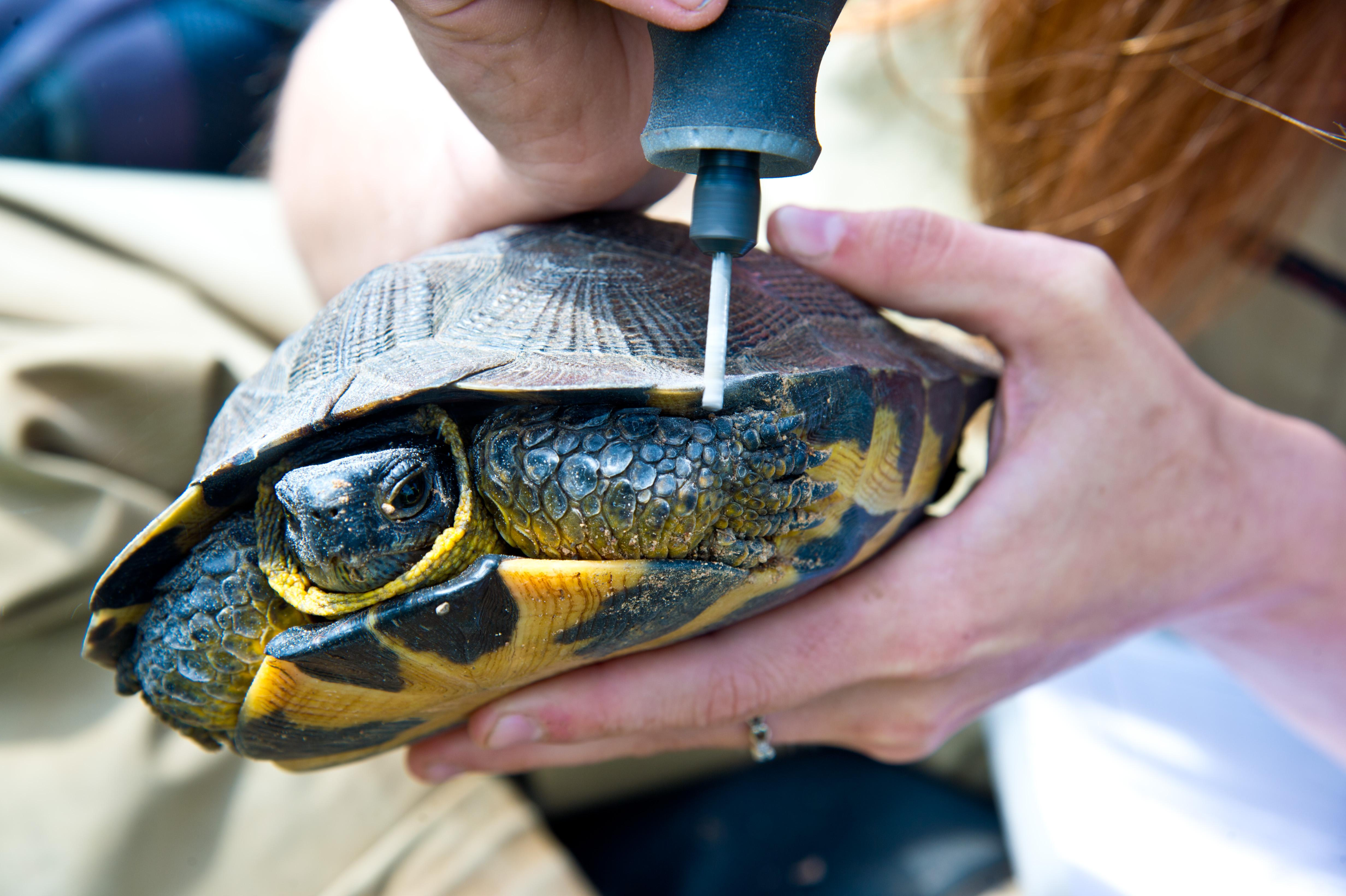 turtle is held by woman as she notches the shell with a grinding tool.