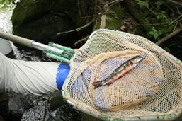 Close up of palm sized fish in net.