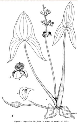 "A illustration drawn by Allen Landgren of Broadleaf Arrowhead (Sagiteria Latifolia) from the book, ""A Flora of Northeastern Minnesota"" by Olga Lakela"