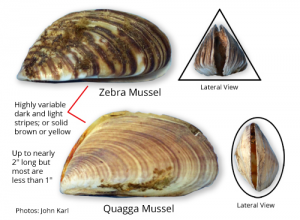Zebra and Quagga mussels are just two of the 97 non-native species endangering Lake Superior and its waterways.