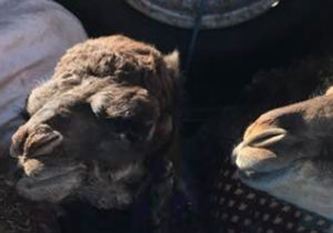 Baby camels near the Sahara desert