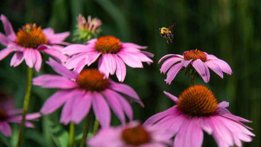 Bee flying above echinacea flowers