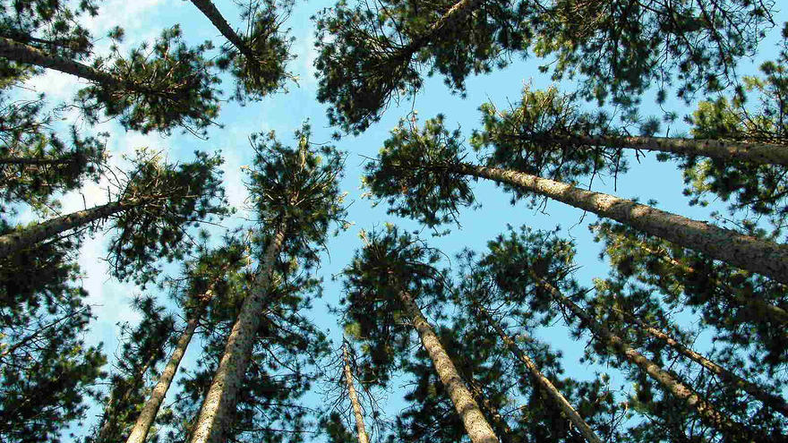 Looking up into tree tops