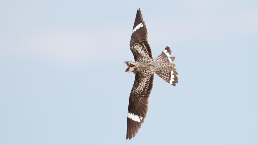 Nighthawk in flight