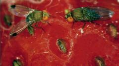 Spotted Wing Drosophila (SWD) on a strawberry