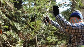 Person gathering pine boughs at Boulder Lake Environmental Learning Center
