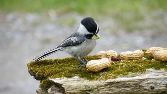 Chickadee on a log