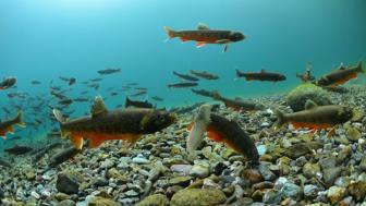 Image of Charr fish