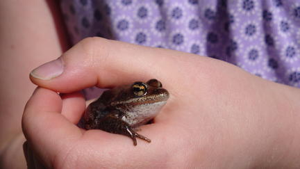 Frog gently held in a person's hand