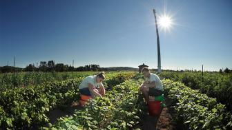 Two students picking veggies at UMD's farm