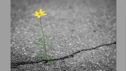Flower growing out of a crack in asphalt