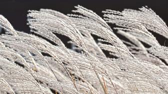 Grasses on UMD campus