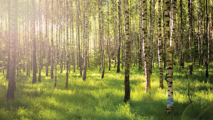 A grove of birch with sunlight streaming through it.