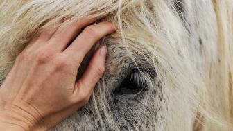 Closeup of horse being pet on the nose
