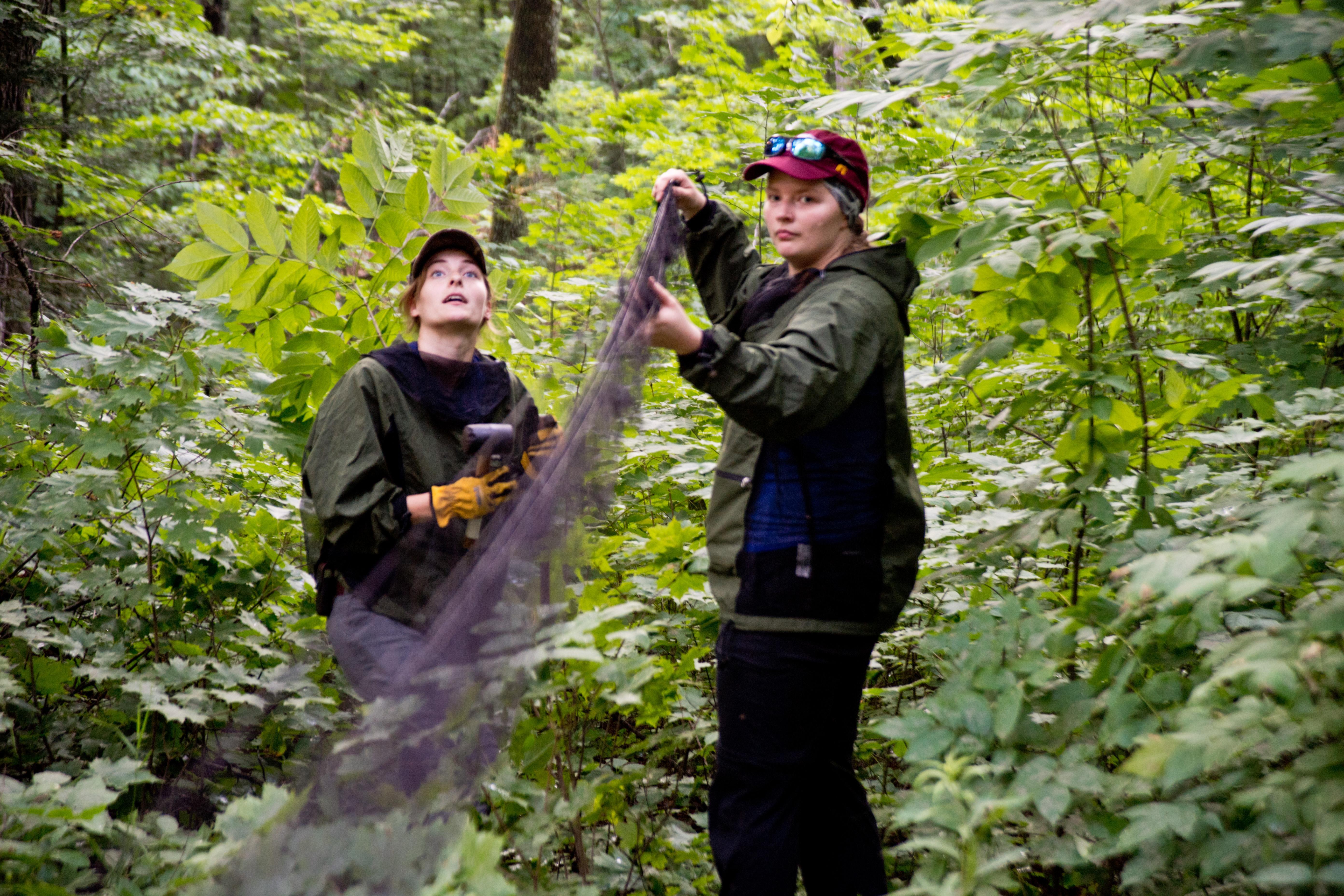 NRRI researchers set up nets to catch bats