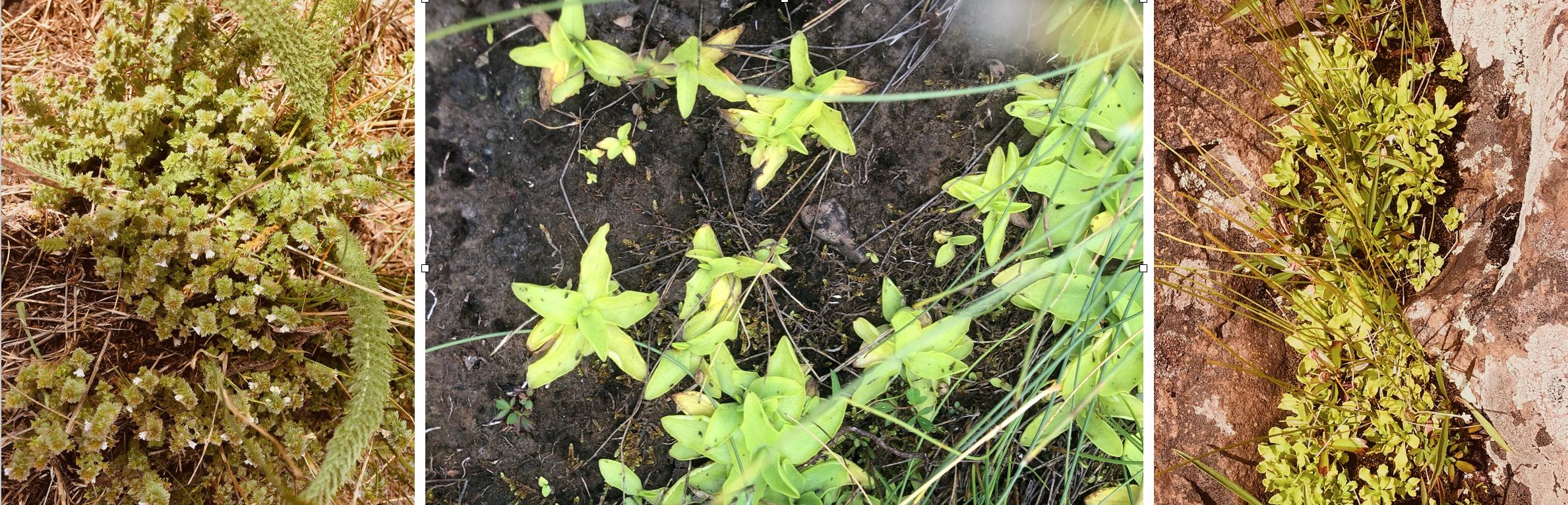 Three arctic relict plants