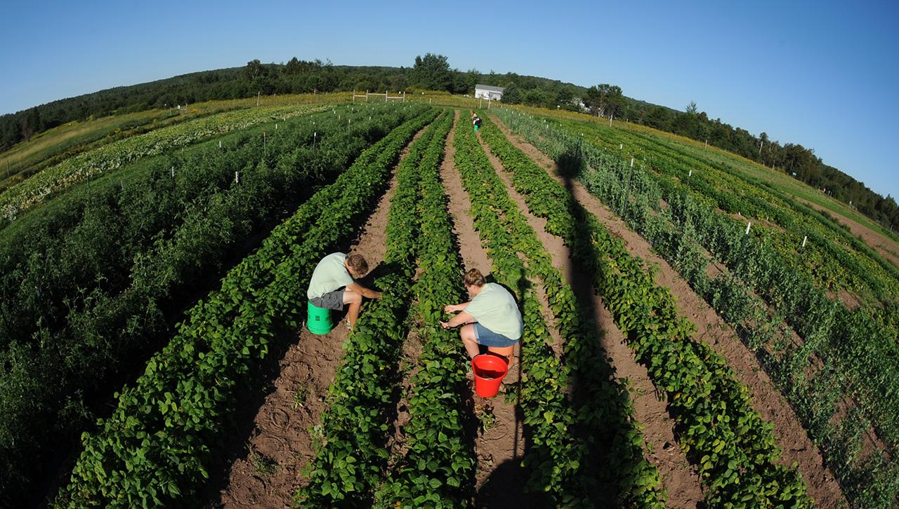 Summer image of two students picking vegetables at UMD's farm