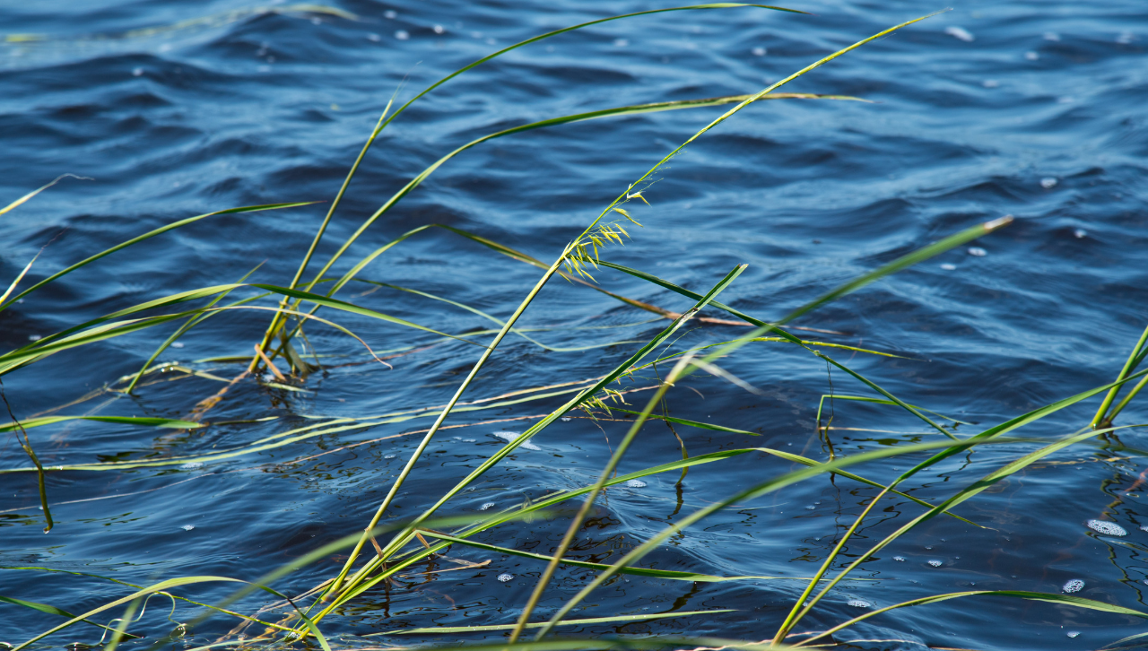 Wild rice on the lake